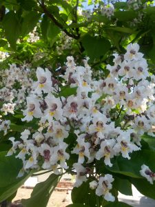 cigar tree (Catalpa bignonioides)