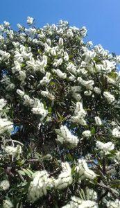 paperbark melaleuca (Melaleuca quinquenervia)