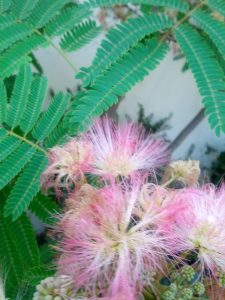 silk tree (Albizzia julibrissin)