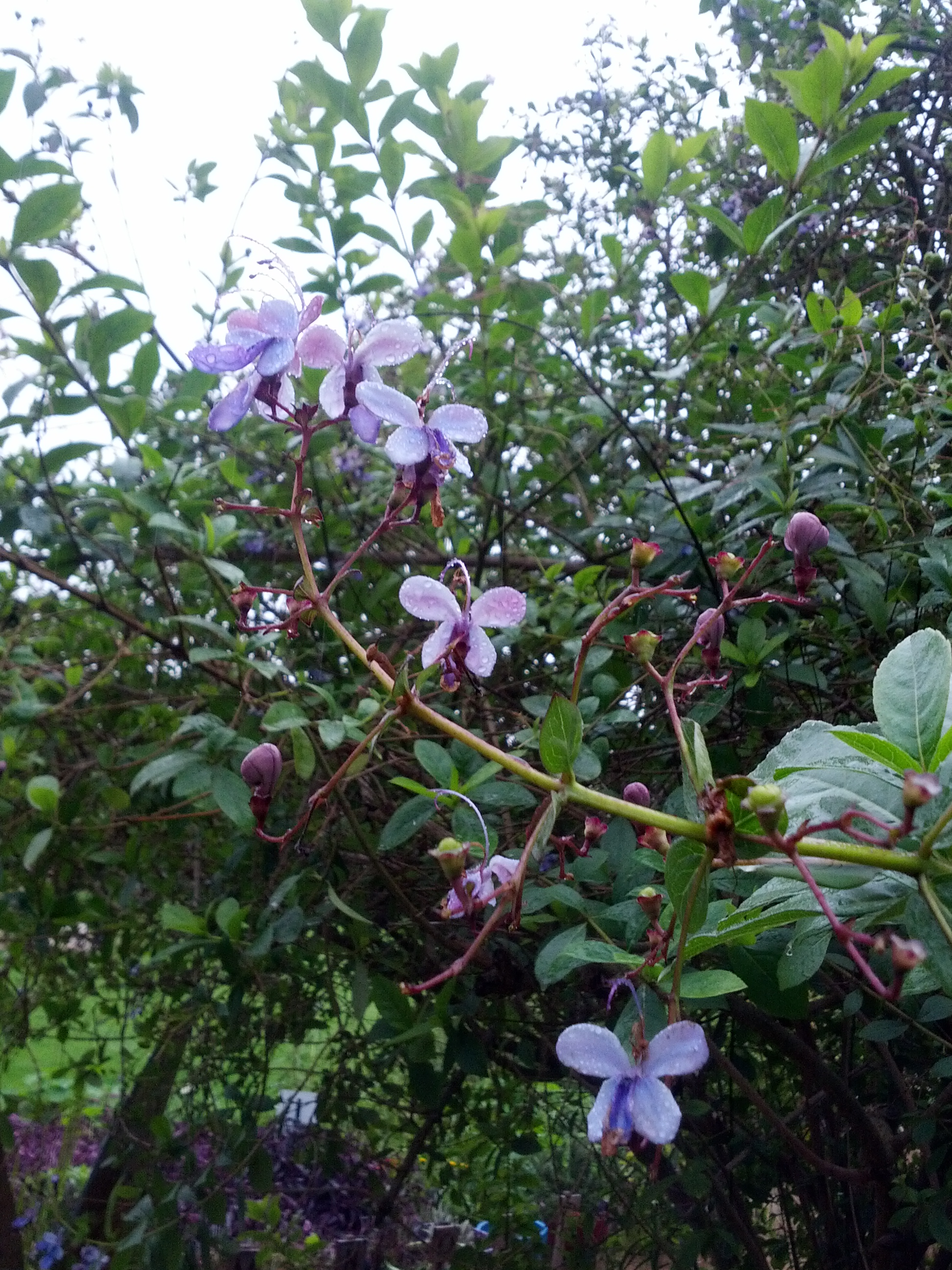 10 outstanding plants with bluemauve flowers the smarter gardener butterfly flower clerodendron uagdense izmirmasajfo Choice Image