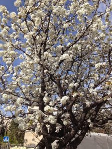 dazzling Callery pear tree in Jerusalem