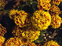 double French marigolds