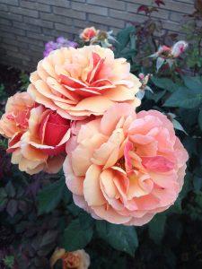 'Pat Austin' rose