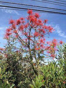 Australian flame tree (Brachychiton acerifolius)