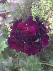 'Black Magic' ivy geranium