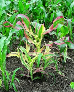 Corn, Ornamental Japonica Striped Maize, photo courtesy of   National Garden Bureau