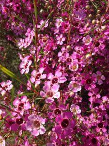 Geraldton waxflower (Chamelaucium uncinaturm)