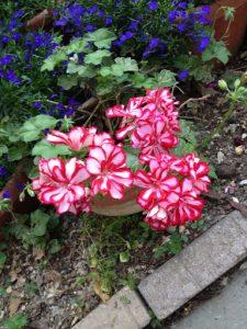 'Royal Candy Cane' ivy geranium