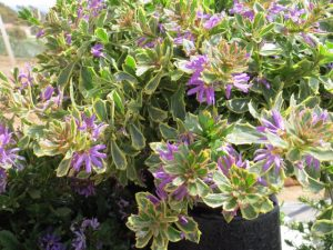 Sacevola Surdiva Variegated Blue, photo courtesy of   National Garden Bureau
