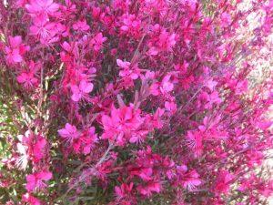 beeblossom (Gaura or Oenothera lindheimeri 'Siskiyou   Pink')