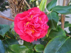 camellia (Camellia japonica), avocado tree companion