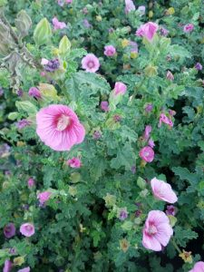 cape mallow (Anisodontea 'Barely Boysenberry')