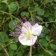 caper flower and foliage (Capparis spinosa)