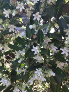 cruel plant (Araujia sericifera)
