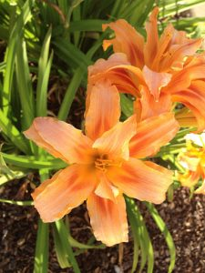 double orange daylily