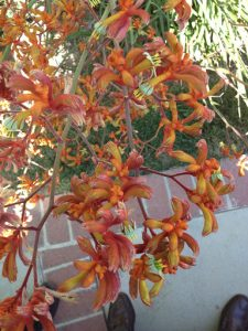 kangaroo paw, orange hybrid