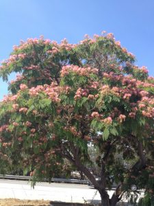 mimosa tree on Burbank Blvd, just west of 405 Freeway