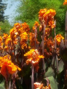orange cannas  (7 feet tall)