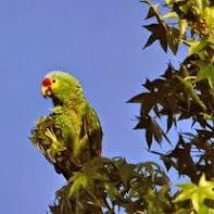 parrot perched on liquidambar tree in North Hollywood,   photo by Kenneth Roberts