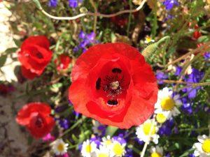 poppy anemone or kalanit (Anemone coronaria)