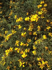 shrub marigold (Tagetes lemmonii)