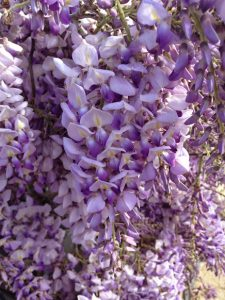 wisteria close-up
