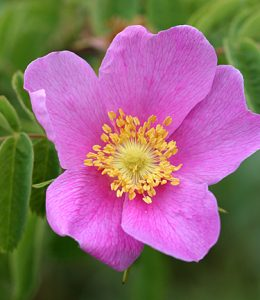 California wild rose (Rosa californica), courtesy of Annie's Annuals