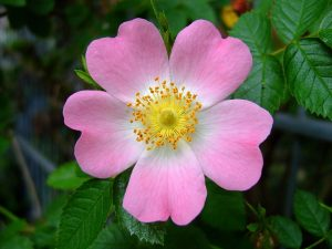 Israeli rose (Rosa canina), courtesy of Wikipedia, Creative Commons Agreement
