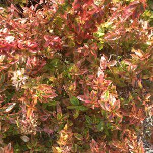 Abelia grandiflora 'Kaleidoscope'