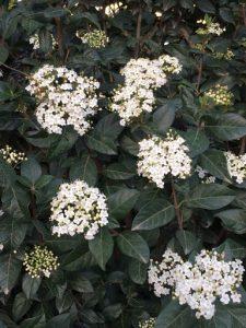 laurustinus (Viburnum tinus)