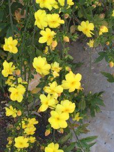 primrose jasmine (Jasminum mesnyi)