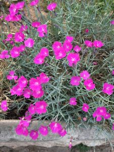 Dianthus flower of god the smarter gardener dianthus flower of god mightylinksfo