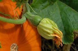Female Pumpkin Blossom